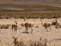 Guanacos Royalty Free Stock Photos