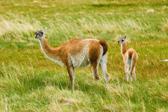 Guanacos Royalty Free Stock Photo