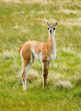 Guanacos Royalty Free Stock Images