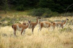 Guanacos in Chile Stock Photography
