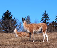 Guanacos Royalty Free Stock Photography