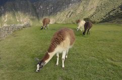 Guanacos and llamas in Machu Picchu, Peru. stock image