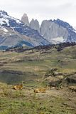 Guanacos with Mountain Backdrop Patagonia Stock Photography