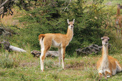 Guanacos in National Park Torres del Paine Stock Photography