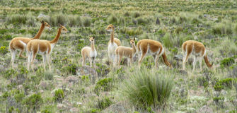 Guanacos in natural area. In Patagonia stock photos