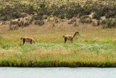 Guanacos in natural area. In Patagonia stock photo