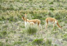 Guanacos in natural area. In Patagonia stock photography