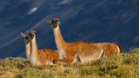 Guanacos nella sosta nazionale del Torres del Paine, Cile Fotografia Stock Libera da Diritti