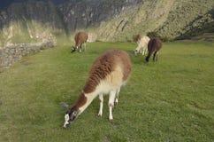 Guanacos och lamor i Machu Picchu, Peru fotografering för bildbyråer