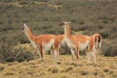 Guanacos på Torres del Paine Arkivfoton