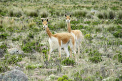 Guanacos in pampa bushes in Patagonia royalty free stock photos