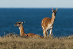 Guanacos Patagonia Argentina. Peninsula de Valdes Stock Images