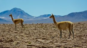 Guanacos in Südamerika in Chile stockbild