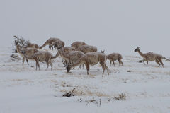 Guanacos in the Snow Stock Image