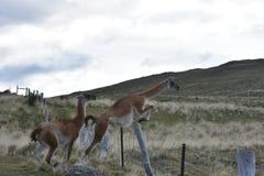 Guanacos som hoppar staketet på den Torres del Paine nationalparken royaltyfria bilder