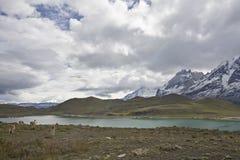 Guanacos in Torres Del Paine Lizenzfreies Stockbild