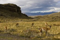Guanacos in the Torres del Paine Stock Photo