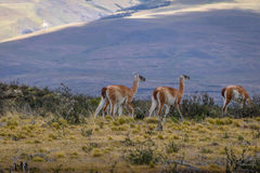 Guanacos at Torres del Paine National Park - Patagonia, Chile. Guanacos at Torres del Paine National Park in Patagonia, Chile Stock Photos