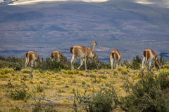 Guanacos at Torres del Paine National Park - Patagonia, Chile. Guanacos at Torres del Paine National Park in Patagonia, Chile Royalty Free Stock Image