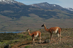 Guanacos, Torres del Paine NP, Patagonia Royalty Free Stock Photography