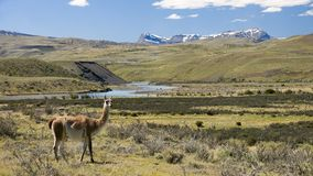 Guanacos in Torres del Paine region Stock Photography