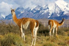 Guanacos in the wild. Chilean guanacos or patagonian lamas in the grass close to the torres del paine natural park stock images