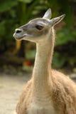 guanako Fotografia Royalty Free