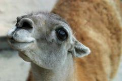 Guanako del lama - 1 Imágenes de archivo libres de regalías