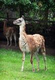 Guanako (guanicoe лама) Стоковое фото RF