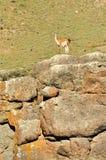 Guanako na górze skały obrazy stock