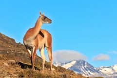 Guanako som tillbaka ser till berg royaltyfri bild