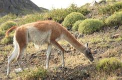 Guanako, Torres Del Paine, Chile Obraz Stock
