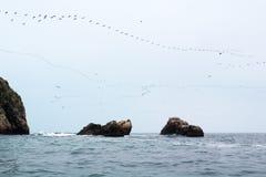 Guanay Cormorant migration. Guanay Cormorant (Phalacrocorax bougainvillii) flocks returning from daily migration to feeding spots. Islas Ballestas, Paracas royalty free stock photos
