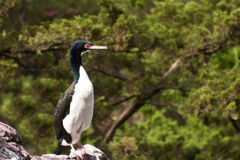 Guanay Cormorant Royalty Free Stock Photography