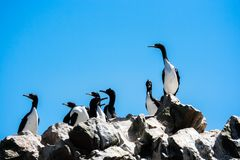 Guanay Cormorants in the Islas Ballestas, Paracas Peninsula, Per. Flock of Guanay Cormorants in the Islas Ballestas, Paracas Peninsula, Peru Stock Photography