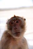 Guance e fronte di una scimmia Fotografia Stock