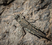Guanchus di Sphingonotus della cavalletta della sabbia di Gran canaria Fotografie Stock Libere da Diritti