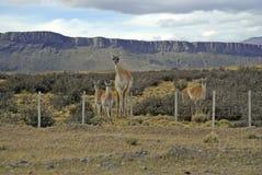 Guanco in Torres Del Paine, Patagonia del sud, Cile Fotografia Stock Libera da Diritti