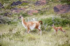 Guanicoe в национальном парке Torres del Paine, зона лама гуанако Magallanes, южная Чили Стоковая Фотография RF