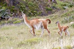 Guanicoe в национальном парке Torres del Paine, зона лама гуанако Magallanes, южная Чили Стоковое фото RF