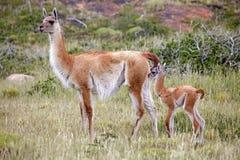 Guanicoe в национальном парке Torres del Paine, зона лама гуанако Magallanes, южная Чили Стоковая Фотография