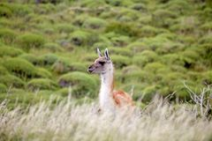 Guanicoe в национальном парке Torres del Paine, зона лама гуанако Magallanes, южная Чили Стоковое Фото