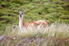 Guanicoe в национальном парке Torres del Paine, зона лама гуанако Magallanes, южная Чили Стоковые Изображения RF