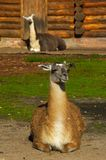 Guanicoe della lama Immagine Stock Libera da Diritti