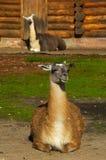 Guanicoe do Lama Imagem de Stock Royalty Free