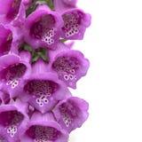 Guante púrpura del zorro foto de archivo libre de regalías