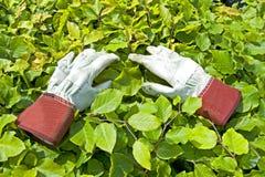 Guante que cultiva un huerto en la hoja verde imágenes de archivo libres de regalías