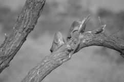 Guanti di lavoro sporchi che appendono su un albero per asciugarsi fotografia stock