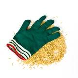 Guanti di usura degli agricoltori e grano del riso Fotografia Stock Libera da Diritti