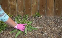 Guanto di giardinaggio dentellare che tira le erbacce Immagine Stock